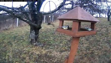 Széncinege és kékcinege a rónafalui madáretetőn (MME webkamera)
