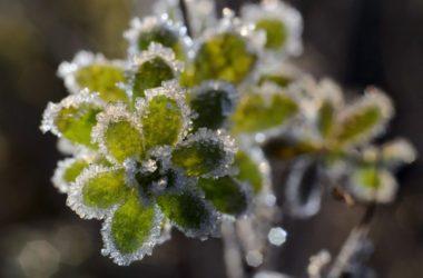 Növényen megfagyott dér Zabar közelében egy korábbi rekordnál. 2013. október 4-én több mint 4 Celsius-fokkal dőlt meg az országos napi hidegrekord, akkor Zabaron mínusz 9,3 fokot mértek hajnalban. (MTI Fotó: Komka Péter)