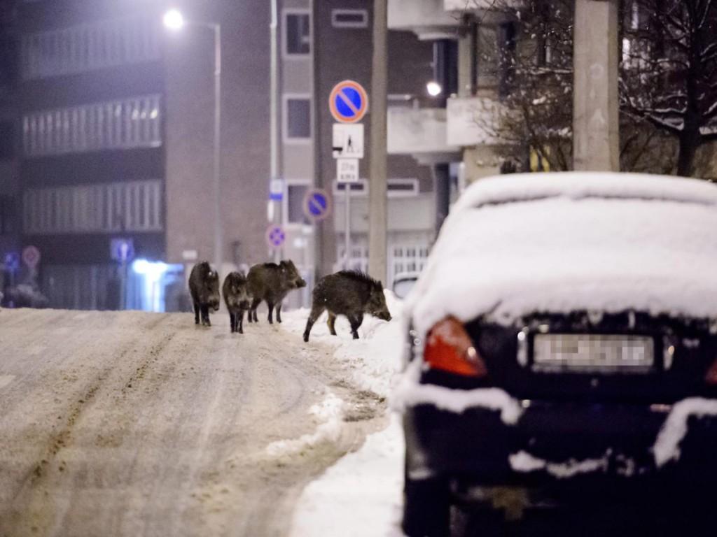Vaddisznók (Sus scrofa) az Alkotmány úton Salgótarjánban 2013. február 22-én. A vadászati statisztikák szerint Magyarországon a vaddisznók száma egyre nő. Az elszaporodott állomány gyakran keresi fel a lakott területeket élelem után kutatva. (MTI Fotó: Komka Péter)