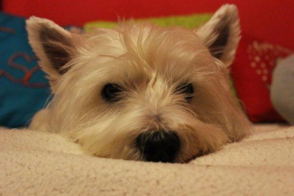 3100.hu Fotó: Mali kutyát hidegen hagyja az ebösszeírás, de a gazdiknak a törvény értelmében cselekedni kell 2015. augusztus 31-ig