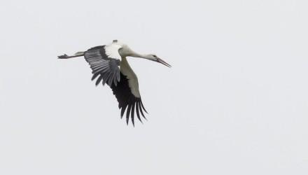 A Január nevű fehér gólya Ludányhalásziban 2015. december 26-án (MTI Fotó: Komka Péter)