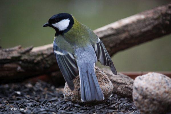 3100.ho Fotó: Széncinege az eresztvényi Geopark Oktató, Kutató és Irányító központ mellett található madárfotós lesből fotózva