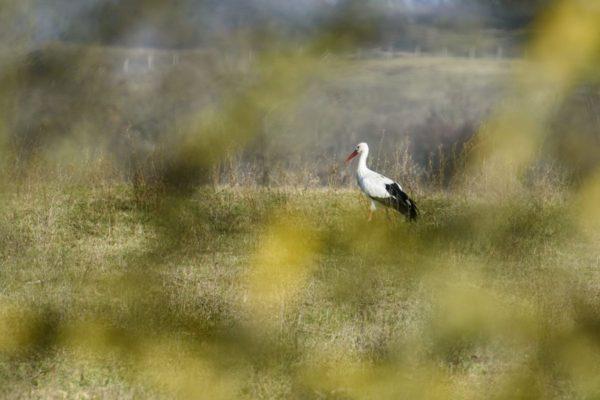 A Január nevű fehér gólya Szécsény határában 2016. november 15-én. A madár rendszeresen tölti a hideg hónapokat az Ipoly-völgyben, felbukkanását először 2014 januárjában jelezték a Magyar Madártani és Természetvédelmi Egyesületnek. Az egyesület munkatársai 2014 márciusában műholdas jeladóval látták el a madarat. (MTI Fotó: Komka Péter)