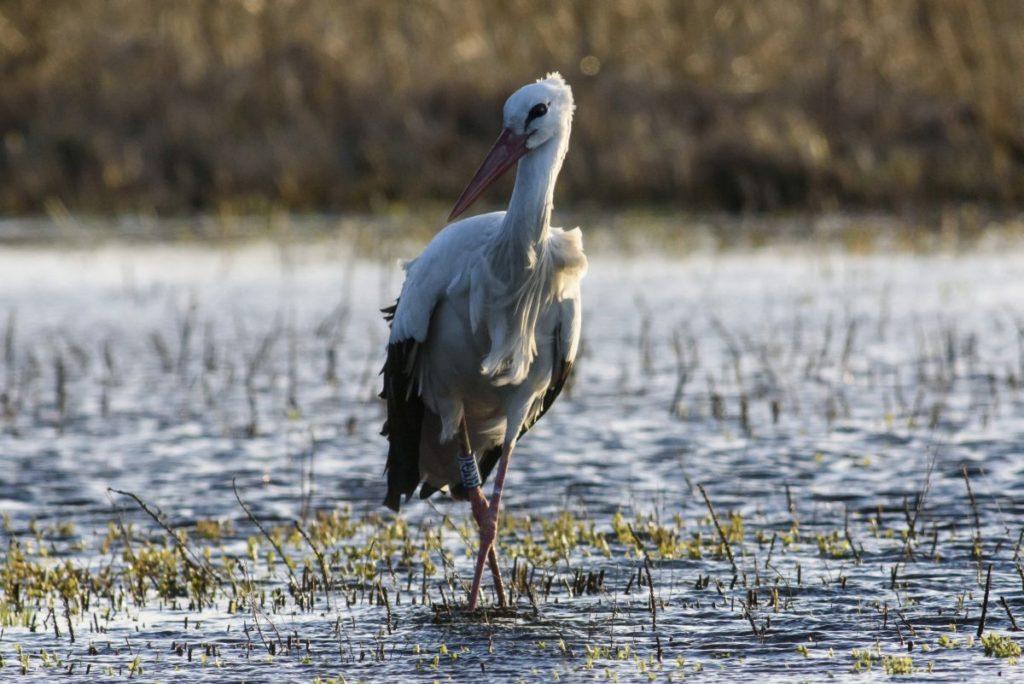 A Báró nevű fehér gólya a Nógrád megyei Csitár határában (MTI Fotó: Komka Péter)