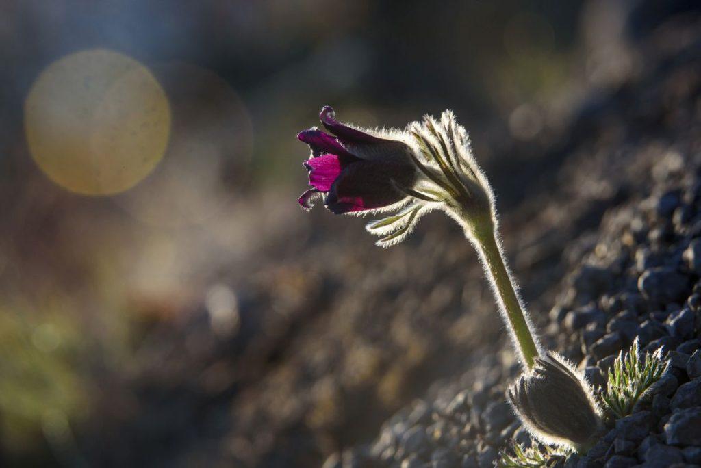 Fekete kökörcsin (Pulsatilla pratensis subspecies nigricans) virágzik Salgótarján közelében 2019. március 6-án (Fotó: MTI/Komka Péter)