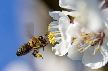 Virágport gyűjtő méh egy virágzó körtefán a március közepi melegben Nagykanizsa közelében (Fotó: MTI/Varga György)