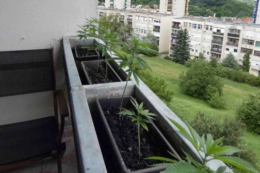 Kiemelt fotó: Kábítószernek minősülő növények egy salgótarjáni lakás erkélyén (Fotó: Nógrád Megyei Rendőr-főkapitányság)