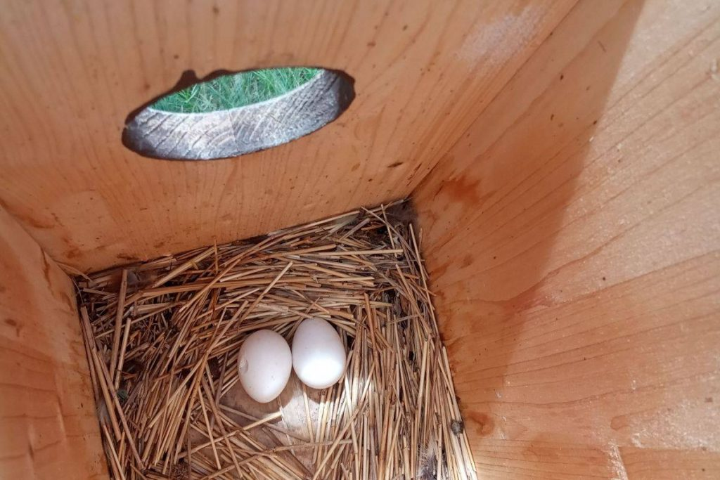 Szalakóták tojásai a mesterséges odúban (Fotó: Molnár Márton   Rollerproject.eu)