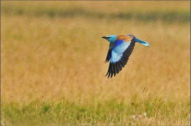 Repülő szalakóta (Fotó: Horváth Tibor)