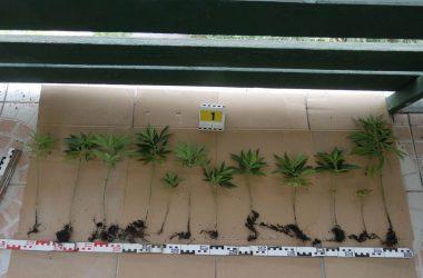 A lefoglalt növények (Fotó: Nógrád Megyei Rendőr-főkapitányság)